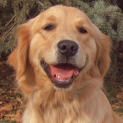 Animals Zoo Park Golden Retriever Dogs Most Popular