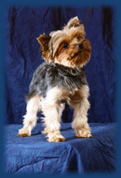 dog symptom checker: 10439844 Cute Yorkie Puppy Free Adoption